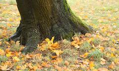 046-IMG_6651 (hemingwayfoto) Tags: ahorn blatt englischergarten flickr georgengarten hannover herbst herbstlaub herrenhusergrten landeshauptstadt landschaftsgarten moos park