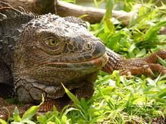 Iguana iguana (Luis G. Restrepo) Tags: p2200951 iguana greeniguana iguanaiguana reptil reptile lizard támesis antioquia colombia southamerica