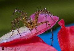 Stacked 2 UP (Sula's Memories( ) Tags: nature macro spider animal wildlife best extensiontubes closeup blue sulaphotography drops fatal red flower green colorful