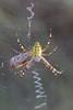 Epeire fasciée (CCphoto12) Tags: arachnide araignée aranéide epeirefasciée letreuil nature