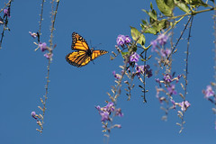 Monarch in Flight (Patricia Ware) Tags: california canon danausplexippus ef400mmf56lusm handheld insectsinflight monarchbutterfly palosverdespeninsula httppwarezenfoliocom 2016patriciawareallrightsreserved playadelrey unitedstatesofamerica specanimal