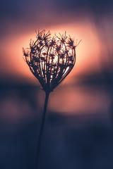 La fleur des marais salants (dono heneman) Tags: fleur flower maraissalant salt marsh marais saltmarsh sel nature leverdesoleil sunrise fleurcompose sun soleil lumire light silhouette vgtal vegetal vgtation gurande loireatlantique paysdelaloire france pentax pentaxart pentaxk3