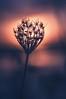 La fleur des marais salants (dono heneman) Tags: fleur flower maraissalant salt marsh marais saltmarsh sel nature leverdesoleil sunrise fleurcomposée sun soleil lumière light silhouette végétal vegetal végétation guérande loireatlantique paysdelaloire france pentax pentaxart pentaxk3