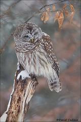 Snowy Barred Owl (Daniel Cadieux) Tags: owl barredowl winter autumn forest snow snowing ottawa stump