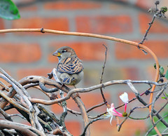 Bird in a bush (Vee living life to the full) Tags: leger travel touring holiday nikond300 calais drivers fag driving bird sparrow bush home