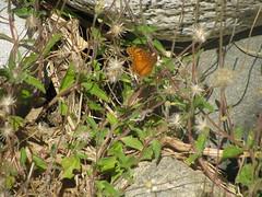 Fox Canyon aka Zorro Canyon (jm94121) Tags: cabosanlucas bajacaliforniasur foxcanyon zorrocanyon santiago waterfall butterfly