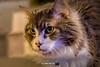 Owen (The Suss-Man (Mike)) Tags: cat feline gainesville georgia graycat hallcounty longhaircat mainecoon owen sonyilca77m2 sussmanimaging thesussman animal pet