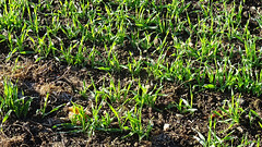 0000258 cereals on a frosty morning george nympton 1116 (4) (sallyclarkephotos) Tags: cereals crop