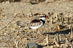 Elseyornis melanops (Black-fronted Dotterel) - Australia (Nick Dean1) Tags: elseyornismelanops dotterel plover shorebird shorebirds wadingbird wader waders aves animalia chordata australia cairns blackfronteddotterel thewonderfulworldofbirds birdperfect birdwatcher