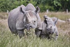 Big Mouth Little Mouth (DickieK) Tags: rhino rhinoceros blackrhino baby eating grazing animal howletts