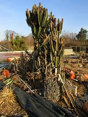 Ex Euphorbias (wallygrom) Tags: england westsussex angmering manornursery manornurseries