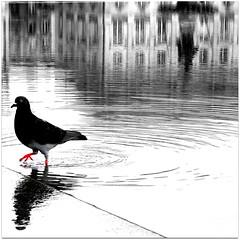 pigeon.com a testé pour vous : le rouge n'est pas soluble dans l'achromatie (Ghislaine33) Tags: carré reflet bordeaux pigeon noirblancou