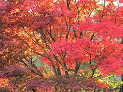 Vibrant (Cher12861 (Cheryl Kelly on ipernity)) Tags: andersonsjapanesegarden rockfordillinois landscape fall autumn november2016 red ablaze vivid beautifullight tree branches leaves season nature beauty colorful japanesemaple