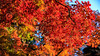 Autumn Colour (djryan78) Tags: green autumn colors colours color fall sigma dslr colour leaf trees outdoor canon canon6d 24105 red garden 6d orange colorful shinjuku tree travel leaves shinjukugyoennationalgarden afternoon colourful park sigma24105 yellow japan tokyo