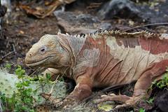 lizzard on Galapagos - Ecuador (Ferdi's - World) Tags: animal ecuador reptile leguaan iguana iguanidae dfine viveza sharpenerpro ferdisworld galápagos nikond7100 galápagosislands laislasantafe nikkorafs80400f4556ed 2013ecuadorgalapagosvacation