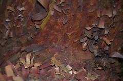 Strawberry Tree: A Study - 6 (Rantz) Tags: australia melbourne brunswick victoria derek strawberrytree rantz sooc straightoutofcamera 1802500mmf3563 psad2014 psadmmxxiv