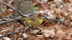 Palm Warbler (Male) (praja38) Tags: life red wild brown ontario canada male bird eye feet nature yellow pine forest pom wings woods branch floor wildlife tail wing beak feathers feather canadian brush whitby perch stick needles warbler capricorn palmwarbler thicksonswoods