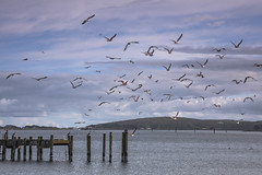 Seagulls Over the Bay (Tom Moyer Photography) Tags: ocean california seagulls bay pier pacific gulls sonomacounty bodegabay sonomacoast