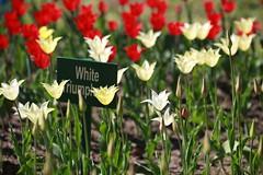 White Triumphal 01 (Asabin Aleksey) Tags: flowers summer white stpetersburg tulip tulipa tulipe tulpe tulipano triumphal tulp tulipan tulipán tulpan цветы лето санктпетербург цпкио выставка тюльпан lâle tulipo túlipa тюльпанов лола վարդակակաչ ләлә