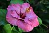 La Stupenda Hibiscus, Adelaide_1042 (Rikx) Tags: pink flower garden petal hibiscus bloom adelaide southaustralia 3f pinkhibiscus flickrsfantasticflowers mimamorflowers lastupenda