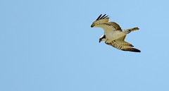 Osprey (pettersson.pontus) Tags: lund skne sweden sverige osprey pandionhaliaetus fiskgjuse nikond7000 nikonnikkorafs200400mm14g