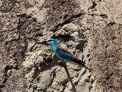 La macchia azzurra.. (Dilet) Tags: uccelli birdwatching animali ghiandaia ghiandaiamarina
