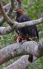 African Crowned Eagle (Rainbirder) Tags: kenya africancrownedeagle nairobinationalpark crownedeagle stephanoaetuscoronatus rainbirder