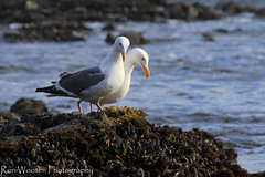 Romantic Beachside Dining for Two (Ron Wooten) Tags: ocean seagulls nature gulls pacificocean oregoncoast oceans marinelife oceanpacific coastaloregon centraloregoncoast oceanstnc ronwooten ronwootenphotography dailynaturetnc13