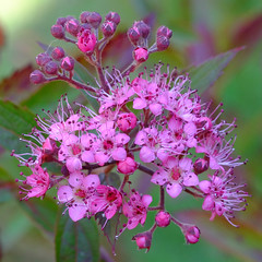 Spirea (pauldbrown) Tags: flower closeup island isleofwight wight iow spirea