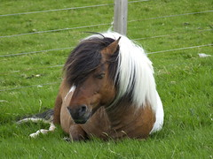"""Bored Shetland Pony (nz_willowherb) Tags: see scotland flickr tour visit shetland shetlandpony unst westing to"""" """"go visitunst seeunst gotounst visitshetland seeshetland goptoshetland"""