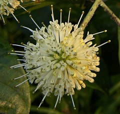 2014_725Button-Bush0003 (maineman152 (Lou)) Tags: summer plants plant flower nature maine july bloom flowing shrub wildflower shrubs blooming naturephotography floweringshrub buttonbush naturephoto