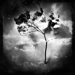 Mojo Tree (rsmithing) Tags: blackandwhite bw cloud tree blancoynegro monochrome clouds square mono surreal squareformat montage photomontage dual grayscale blend hitamputih biancoynero mojotree treesseries pretoybranco hipstamatic cloudsseries