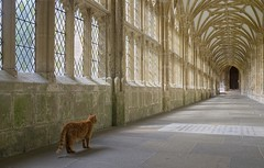 Cloister Cat (The Green Album) Tags: windows shadow animal cat lights ginger cathedral empty perspective wells clositers
