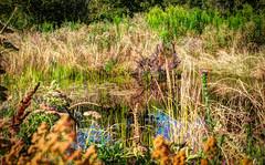 A New Pond (Mule67) Tags: plants usa oregon pond native bottom jackson hillsboro wetland 2014