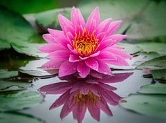 lotus flower (anekphoto) Tags: pink flowers blue red white lake plant flower color macro reflection green nature water beauty horizontal gardens garden botanical outdoors drops bed pond saturated flora lily bright lotus blossom vibrant space formal magenta nobody scene surface petal monet single bloom colored medicine claude lit awe ornamental copy tranquil multi alternate brightly