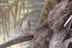 Rose-coloured Starling - Pastor roseus (Omar430) Tags: rose starling pastor coloured roseus