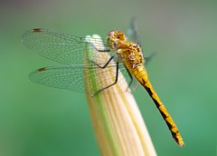 Glass Wings (imageClear) Tags: macro green nature beauty wisconsin golden wings nikon flickr dragonfly bokeh lovely sheboygan photostream 105mm glasswings d7000 imageclear
