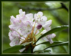 Mountain Laurel - at Cranberry Bogs on a stormy day. (Carolyn Lehrke) Tags: usa flora explore wv mountainlaurel cranberrybogs ilobsterit