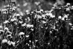 1960 (mripp) Tags: flower germany landscape bayern deutschland bavaria blackwhite natur monochrom blume schwarzweiss landschaft oberpfalz 1960 natuer
