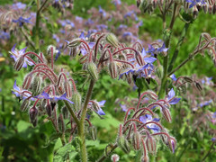 Borago officinalis (aniko e) Tags: blue plant flower garden purple diversity edible herb boragoofficinalis boraginaceae borretsch borago borágó öbz