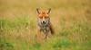 Fox on the hunt (markrellison) Tags: greatbritain wild male animal animals iso800 eyes eyecontact unitedkingdom wildlife hunting canine fox lightroom f40 redfox vulpesvulpes 420mm lr4 11600sec ef300mmf28lisusm14x eyeconnection canoneos5dmarkiii lightroom4