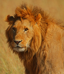Luv Lion (Rainbirder) Tags: kenya africanlion maasaimara pantheraleo rainbirder