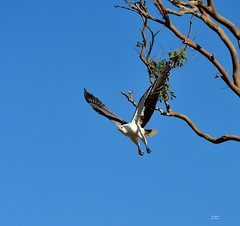 DSC_0048 (RUMTIME) Tags: bird nature birds fly flying flight feathers feather queensland seaeagle coochie coochiemudlo