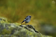 maschio di Codirosso spazzacamino, Phoenicurus ochruros, male Black Redstart (paolo.gislimberti) Tags: autumn birds uccelli autunno alpineenvironment alpinegrassland prateriaalpina ambientealpino