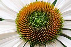 flower bomb (christiaan_25) Tags: orange white flower color green geometric nature garden petals bright echinacea center coneflower