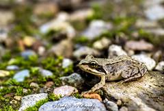 Watch out froggy crossing! (©Noeky1980 Photography) Tags: macro water stone forest canon woods path stones pad 100mm frog 28 bos froggy kikker sloot kikkers alblasserdam nuray amfibie alblasserbos amfibieen canon7d noeky noeky1980 noeky1980photography