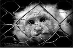 Necesito ser Libre !! (< Norman Vasquez >) Tags: naturaleza animal liberty libertad sadness tristeza monkey mono grande honduras libre joya encierro conciencia