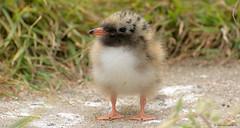 Mind Your Step... (KHR Images) Tags: wild cute bird nature nikon wildlife chick northumberland 70300mm nationaltrust arctictern sternaparadisaea innerfarne d7100 kevinrobson khrimages