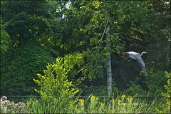 The One That Got Away (Jeannot7) Tags: ontario bird greatblueheron birdwatcher cobourg