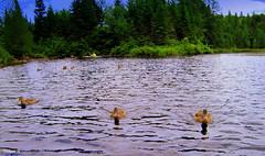My ducks. (Yolanta Z) Tags: ducks stagathe
